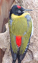 Black-headed Woodpecker Picus erythropygius 1200px.jpg
