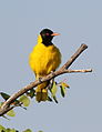 Black-headed oriole, Oriolus larvatus, at Mapungubwe National Park, Limpopo, South Africa (17578744734).jpg