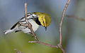 Black-throated-green-warbler-100.jpg