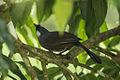 Black-throated Laughingthrush - Khao Yai NP - Thailand S4E5682 (14255470851) (2).jpg