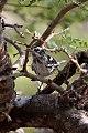 Black & White Warbler (Mniotilta varia) (8082134503).jpg