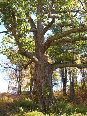 East Granby, Connecticut - Black oak tree in East Granby