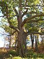 Black Oak in East Granby, Connecticut - October 20, 2013.jpg