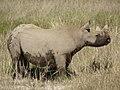Black Rhino (6521931525).jpg