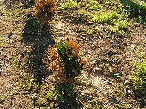 Phytophthora nicotianae - Black Shank infection on American Boxwood. Photo Credit Kelly Ivors, Cal Poly