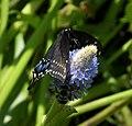 Black Swallowtail Papilio polyxenes asterius (38843080612).jpg