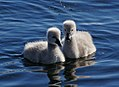 Black Swan Cygnets. (8899475767).jpg