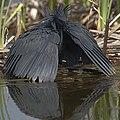 Black heron, Egretta ardesiaca, at Marievale Nature Reserve, Gauteng, South Africa. (28293692789).jpg