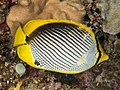 Blackback butterflyfish (Chaetodon melannotus) (43543354441).jpg