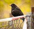 Blackbird eating something (16614253943).jpg