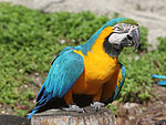 Blue-and-yellow Macaw RWD2.jpg