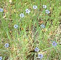 Blue-eyedGrass.jpg