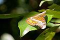 Blue-eyed butterfly 2 (5545562881).jpg