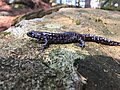 Blue-spotted salamander, Ambystoma laterale.jpg