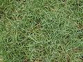Blue couch grass (3139251911).jpg
