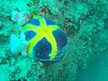 Blue sea cucumber at Paindane express dsc04477.jpg