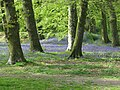 Bluebells at Blackbury Iron Age Hill Fort - geograph.org.uk - 1285593.jpg