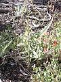 Boechera retrofracta (Arabis holboellii) (4424784796).jpg