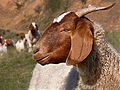 Boer goat444 without tag.jpg