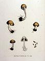 Bolbitius hydrophilus — Flora Batava — Volume v16.jpg