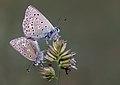 Bolkar Blue - Polyommatus molleti.jpg