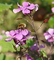 Bombylius major gathering nectar on a pink flower.jpg