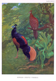 Bornean Crested Fireback by Charles Knight.png