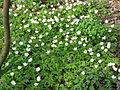 Bosanemonen (Anemone nemorosa) - Dr. Jac. P. Thijssepark - Amstelveen (5558824326).jpg