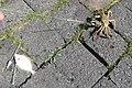 Bot en een wolhandkrab gevangen aan een hengel Holland tijdens de lente.jpg