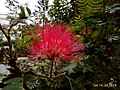 Bottlebrush Callistemon flower.jpg