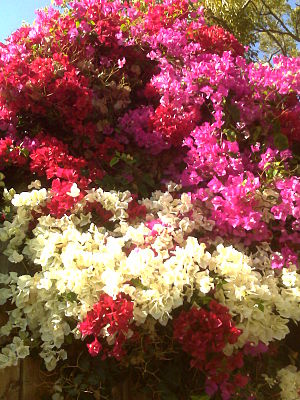 Biological pigment - Bougainvillea bracts get their color from betalains