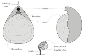 Brachiopod morphology