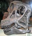Brachiosaurus sp. skull.jpg