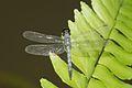 Brachydiplax sobrina-Kadavoor-2016-06-27-006.jpg