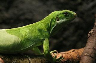 <i>Brachylophus</i> Genus of lizards