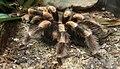 Brachypelma smithi 5.jpg