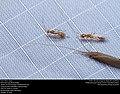 Braconid wasp (Braconidae), Queen ant (Formicidae, Pseudomyrmex sp.), Long-horned Caddisfly (Leptoceridae) (31204621716).jpg