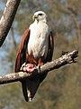 Brahminy Kite (2121157214).jpg