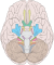 Brain human normal inferior view.svg
