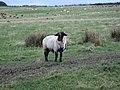 Breeding ram, near Longwitton - geograph.org.uk - 618811.jpg