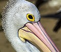 Bribie Island Pelican has his eye on me-1 (34747182850).jpg