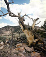 Bristle cone pine on Rainier Mesa 1.jpg