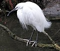 Bristol.zoo.little.egret.arp.jpg
