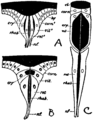 Britannica 1911 Arthropoda - Crustacea and Hexapoda compound eye derivation.png