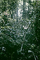 Bromelia alta - habitat.jpg