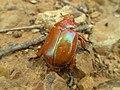 Brown Christmas beetle (4193695265).jpg