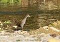 Brown Crake (Amaurornis akool) (32106132137).jpg