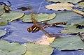 Brown Hawker Dragonfly in flight 5 (3877783529).jpg