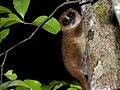 Brown Mouse Lemur, Nosy Mangabe, Madagascar.jpg