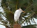 Bubulcus ibis 0035.jpg
